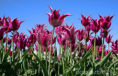 Purple Colored Tulips