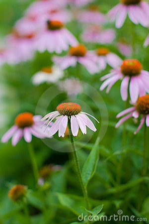 Free Purple Coneflower Stock Image - 6406481