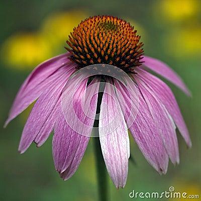 Purple Coneflower - Echinacea