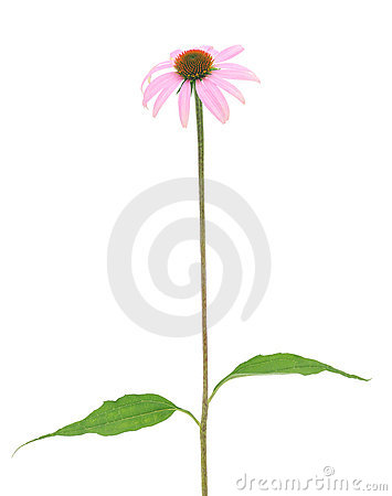 Free Purple Coneflower-echinacea Royalty Free Stock Image - 15079766