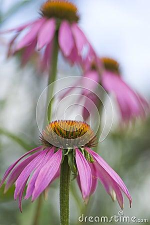Free Purple Coneflower, Echinacea Purpurea Stock Photography - 4325582