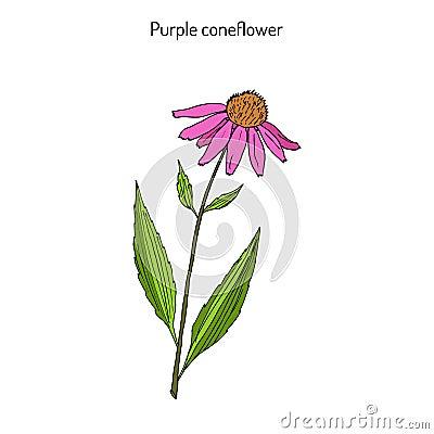 Free Purple Coneflower Echinacea Purpurea , Medicinal Plant Royalty Free Stock Photo - 88769545