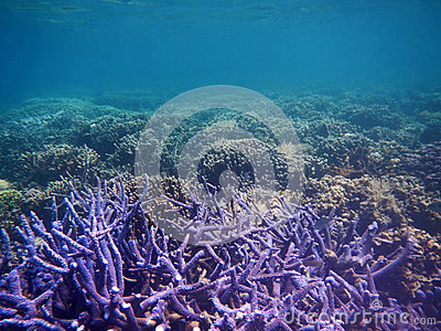 Purple coral with nobody sea