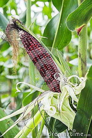Purple Corn on cob.
