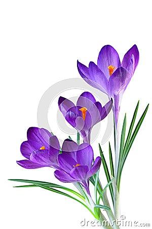 Free Purple Crocus Royalty Free Stock Image - 17691026