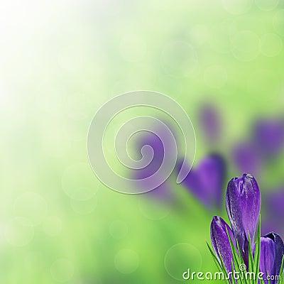 Free Purple Crocus Royalty Free Stock Images - 30442319