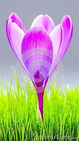 Free Purple Crocus Flower Background Wallpaper Royalty Free Stock Photos - 103665368
