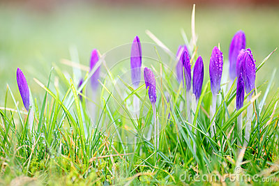Purple crocus flowers