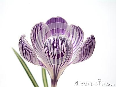 Purple Crocus Head