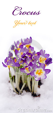 Free Purple Crocus In Snow Stock Photography - 50999612