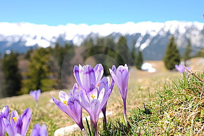 Purple crocus in spring season
