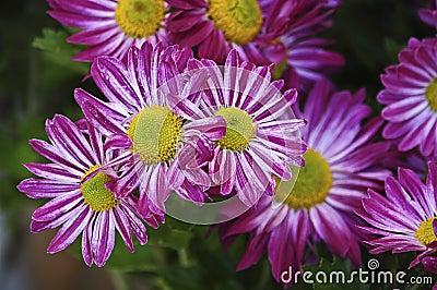 Purple daisies
