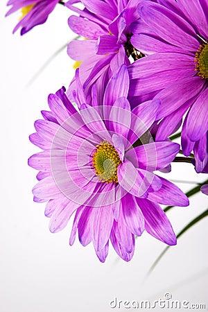 Free Purple Daisy Royalty Free Stock Photos - 1031988