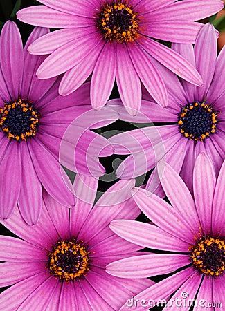 Free Purple Daisy Royalty Free Stock Photography - 18998807