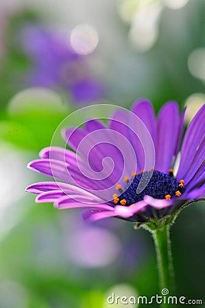Free Purple Daisy Royalty Free Stock Photo - 37687375