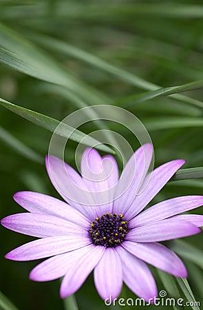 Free Purple Daisy Stock Photos - 8240013