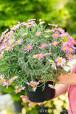 Free Purple Daisy Flower In Pot Stock Photos - 25386583