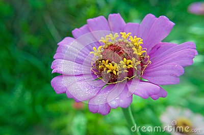 Purple daisy with morning dewdrops
