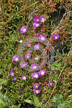 Purple Dewplant