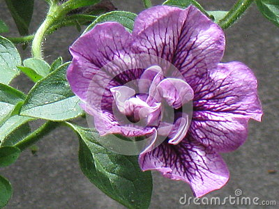 Purple double petunia close up