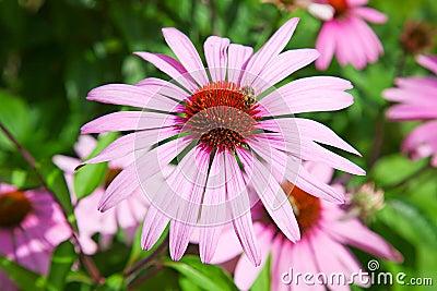 Purple echinacea
