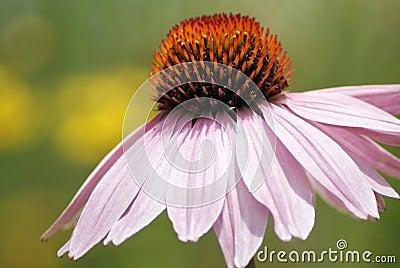 Purple echinacea closeup