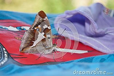 Purple emperor butterfly Apatura iris Stock Photo