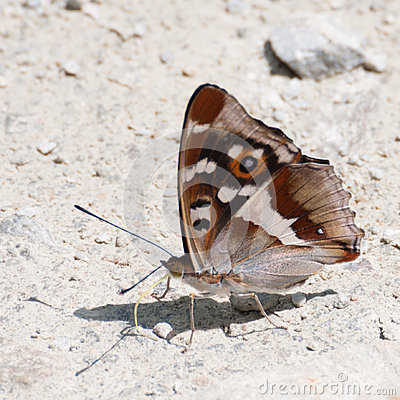 Purple Emperor butterfly (Apatura iris) with wings closed Stock Photo