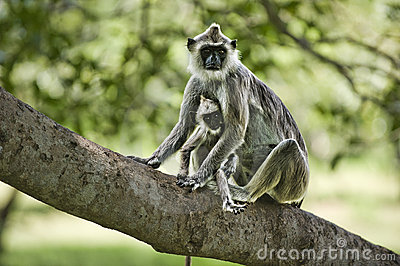 Purple faced leaf monkey with a baby