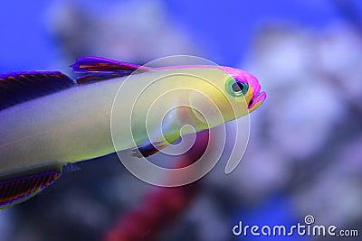 Purple Firefish Stock Photos - Image: 28414243