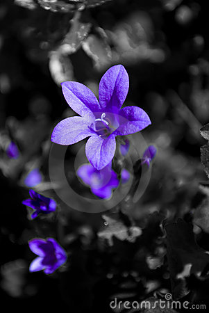 purple flower on a black and white background stock photo