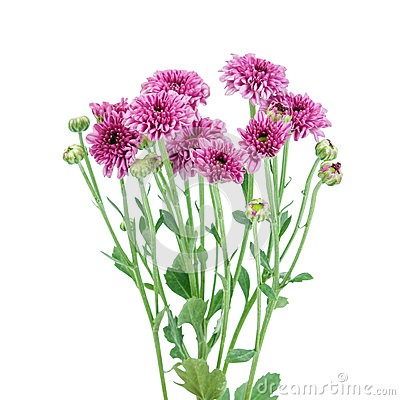 Free Purple Flower (Chrysanthemum Purple) Royalty Free Stock Photography - 44794897