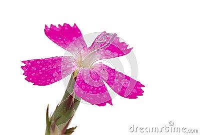 Purple flower isolated