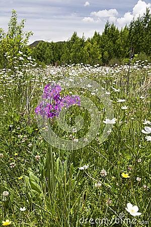 Purple Flower in Sea of White Flowers