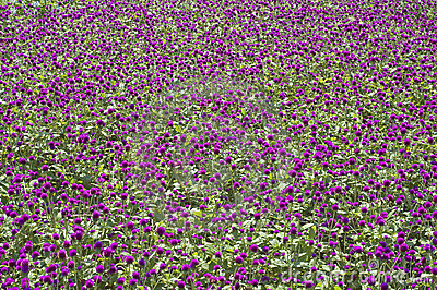 Purple Flowerbed