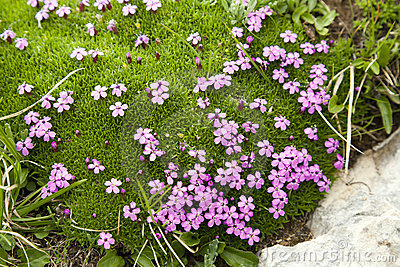 Purple Flowers in Alpine Moss