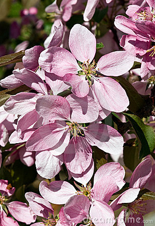 Lavender- Pink Crab Apple blossoms
