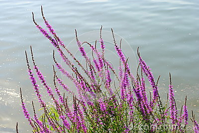 Purple flowers close to a river