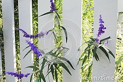 Purple Flowers on Picket Fence