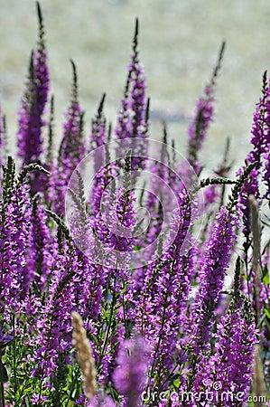 purple flowers stock photo image 43751845