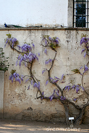 Free Purple Flowers Wisteria Stock Photography - 705712