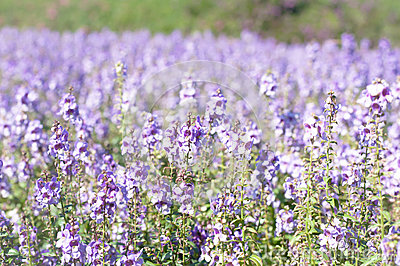 the purple forget me not flower field on sunny beautiful day Stock Photo