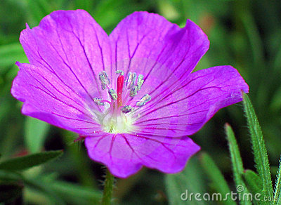 Purple Geranium Flower