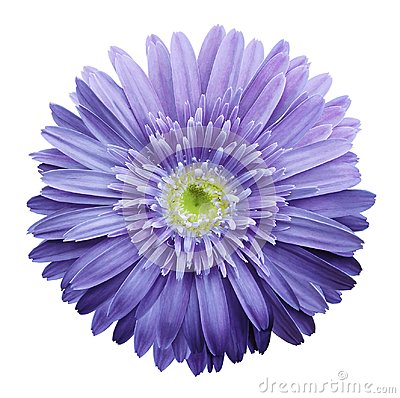 Free Purple  Gerbera Flower On A White Isolated Background With Clipping Path.   Closeup.  No Shadows.  For Design. Royalty Free Stock Photo - 111750475