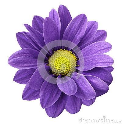 Free Purple Gerbera Flower. White Isolated Background With Clipping Path. Closeup. No Shadows. For Design. Royalty Free Stock Photography - 92549587