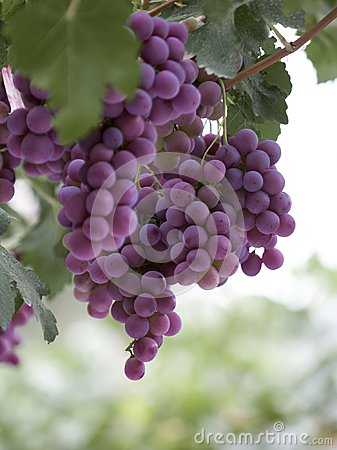 Free Purple Grapes, Hanging On Grape Tree Royalty Free Stock Photos - 112030988