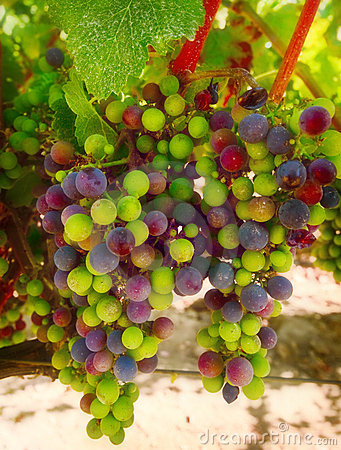 Purple and Green Wine Grapes, California Stock Photo