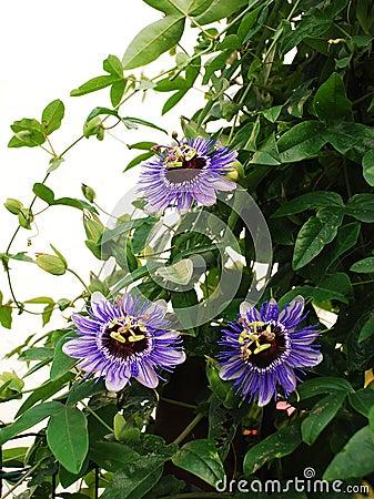 Free Purple Haze Passifloras Stock Photo - 45566280