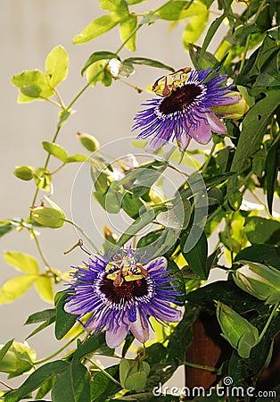 Free Purple Haze Passifloras Royalty Free Stock Image - 45566966