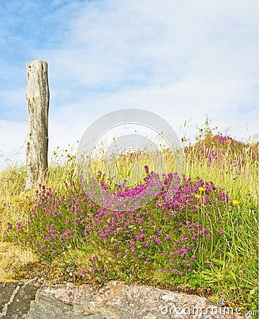 Purple heather and blue sky.